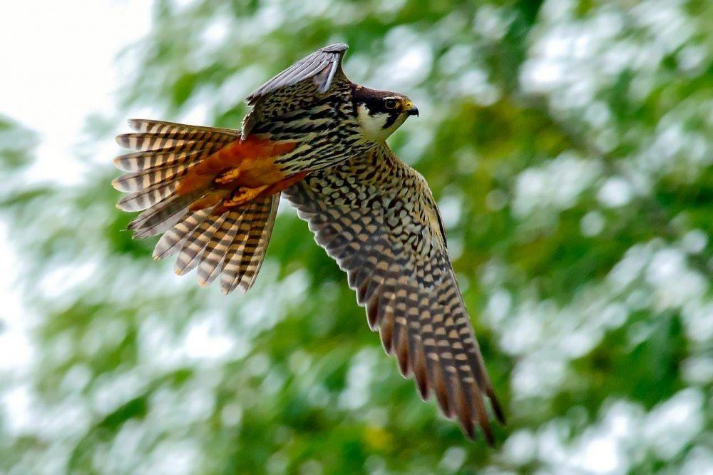Faucon hobereau © Mihai Baciu