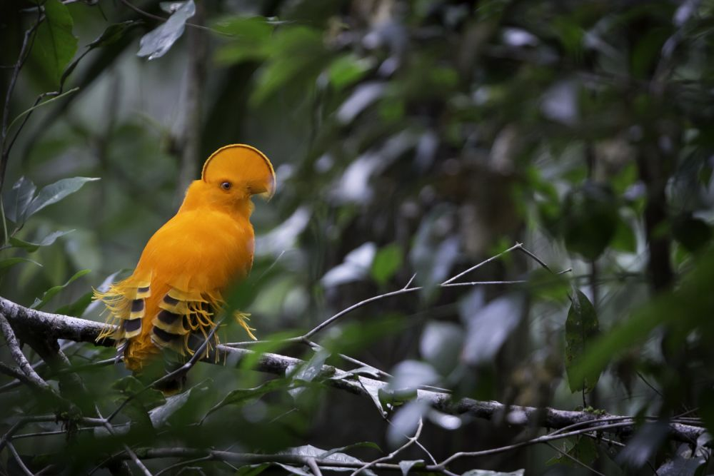 Coq de roche orange © Mathias Fernandez