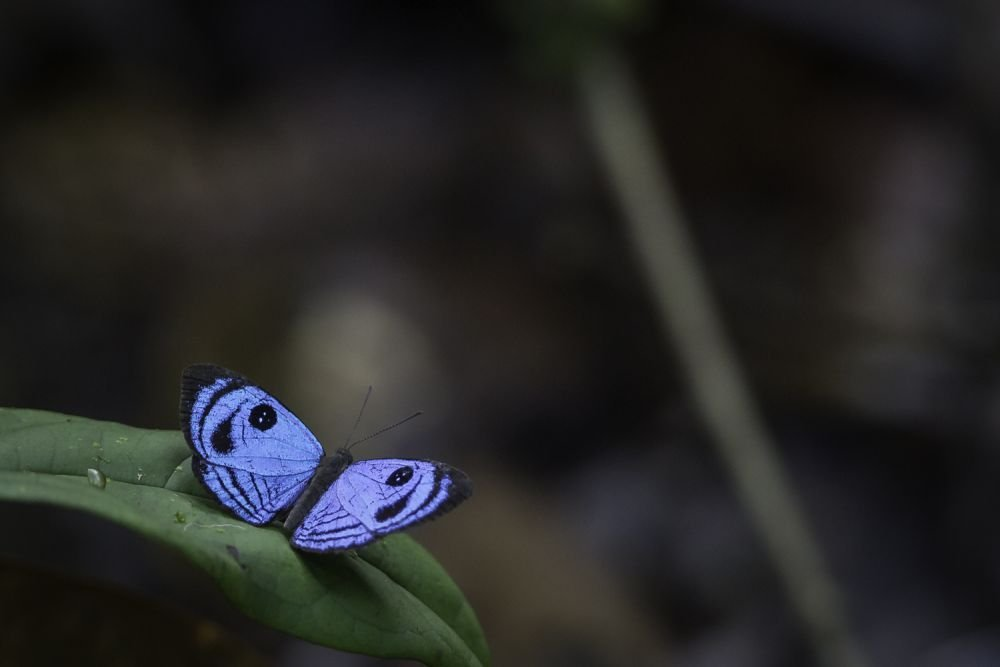 Riodinidae © Mathias Fernandez