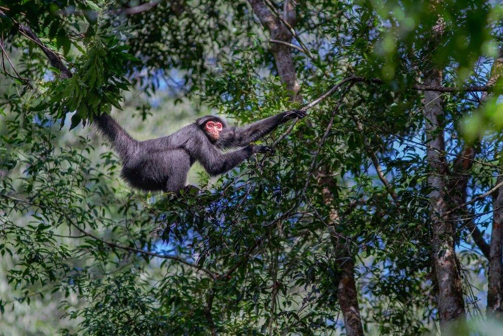 voyage-guyane-singe-atele-noir-mathias-fernandez