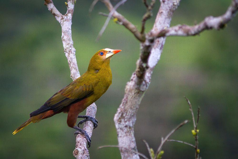 voyage-guyane-cacique-vert-mathias-fernandez