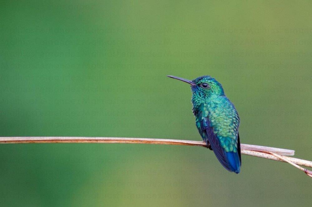 voyage-guyane-colibri-a-menton-bleu-mathias-fernandez