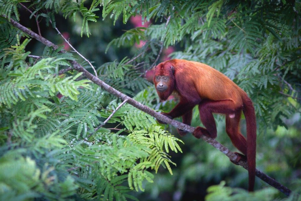 voyage-guyane-singe-hurleur-roux2-mathias-fernandez