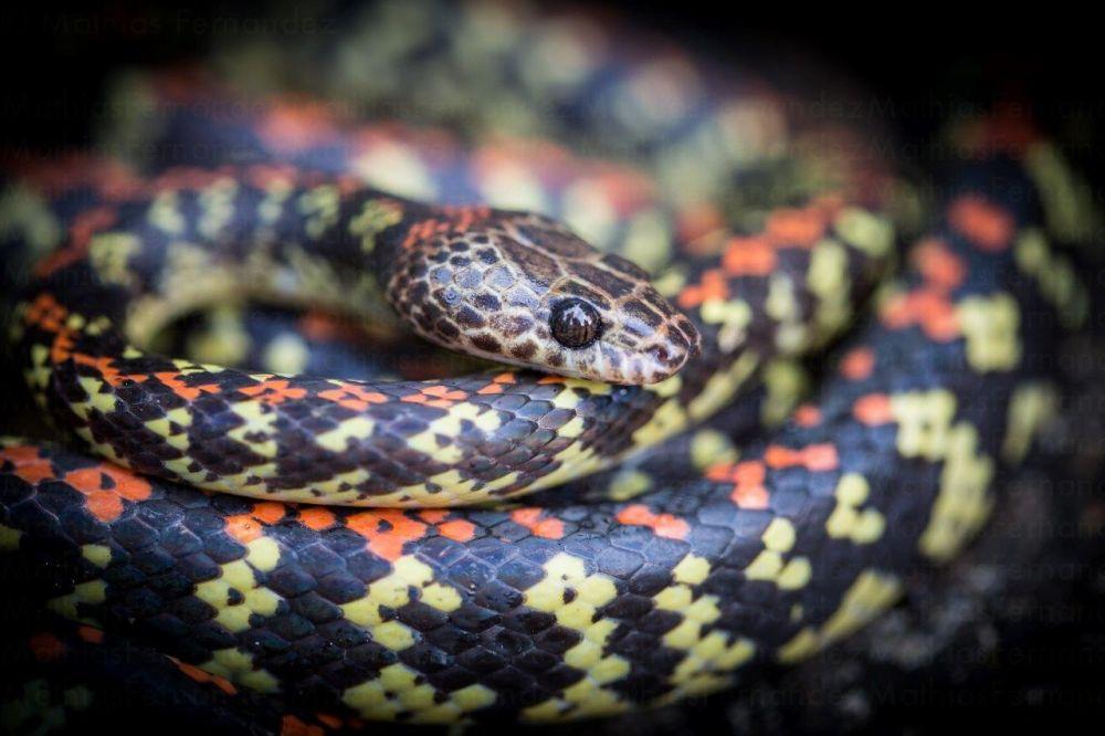 voyage-guyane-serpent-siphlophis-cervinus-mathias-fernandez