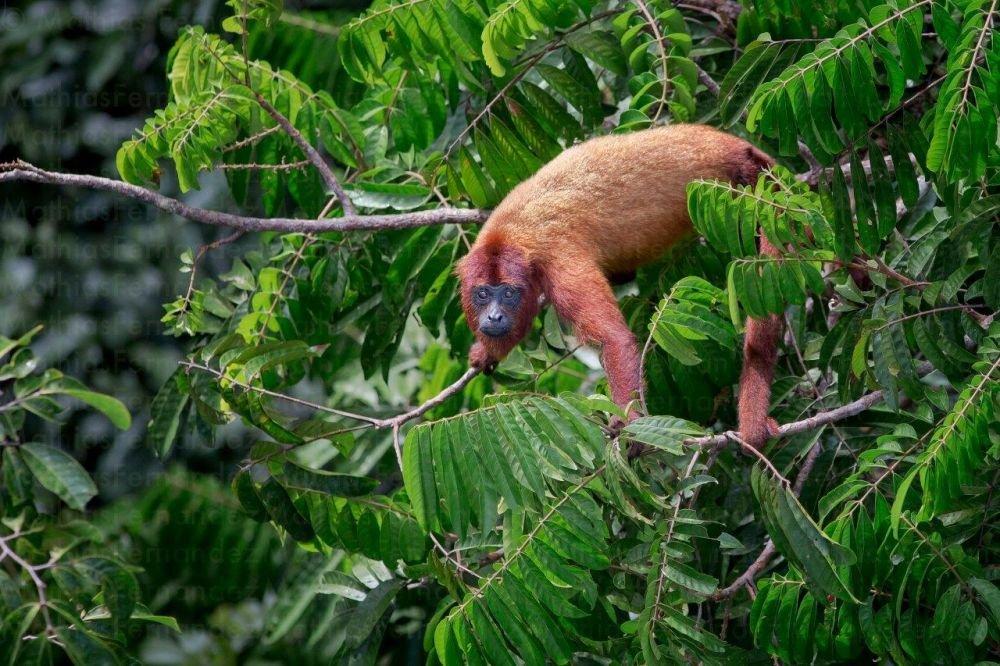 voyage-guyane-singe-hurleur-roux-mathias-fernandez
