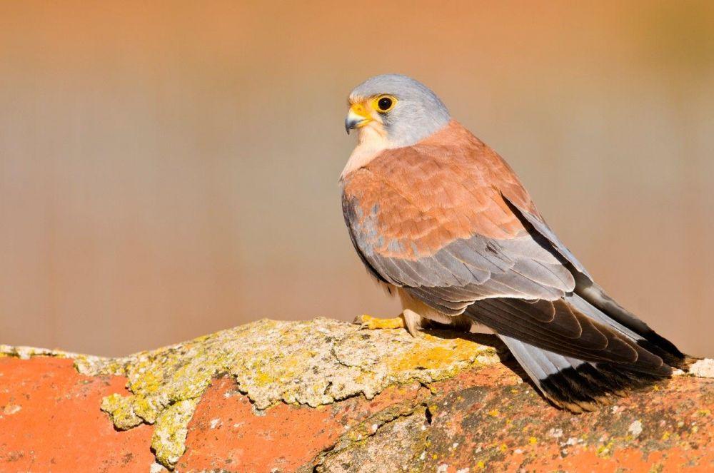 Faucon crécerellette, Estremadure © Birding in Extremadura