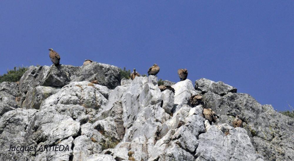 Colonie de vautours fauves à Monfragüe © Jacques Artieda