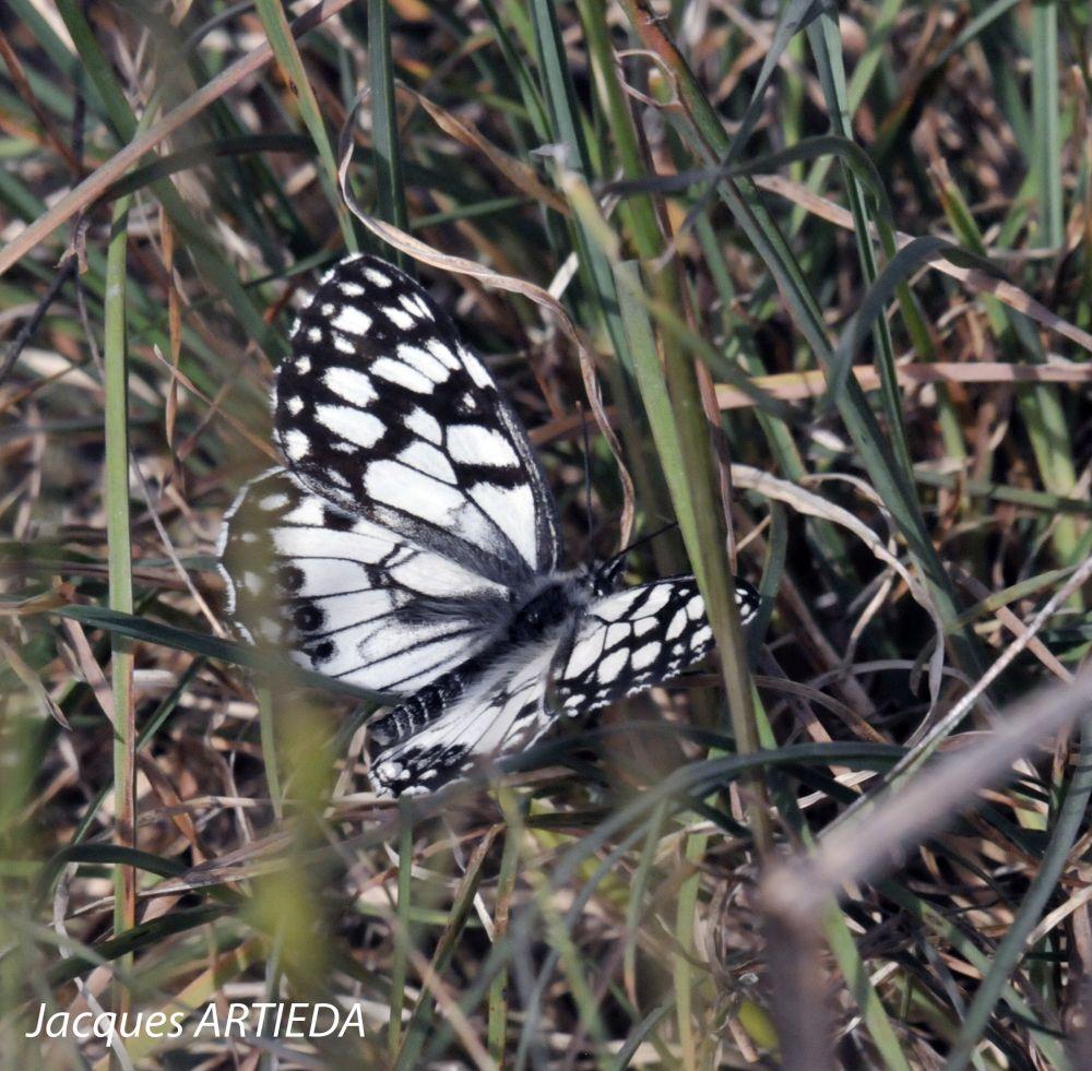 Papillon demi-deuil © Jacques Artieda