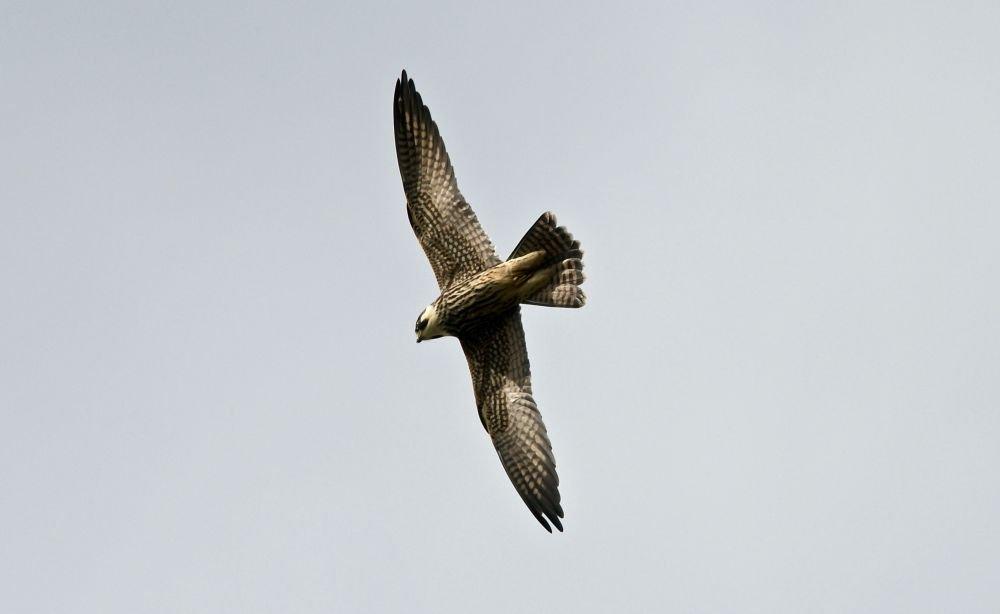 Faucon hobereau © Carole Ratcliffe