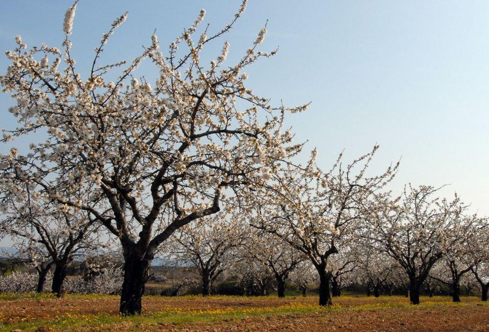 Cerisiers - Sarah Goliard - LPO PACA