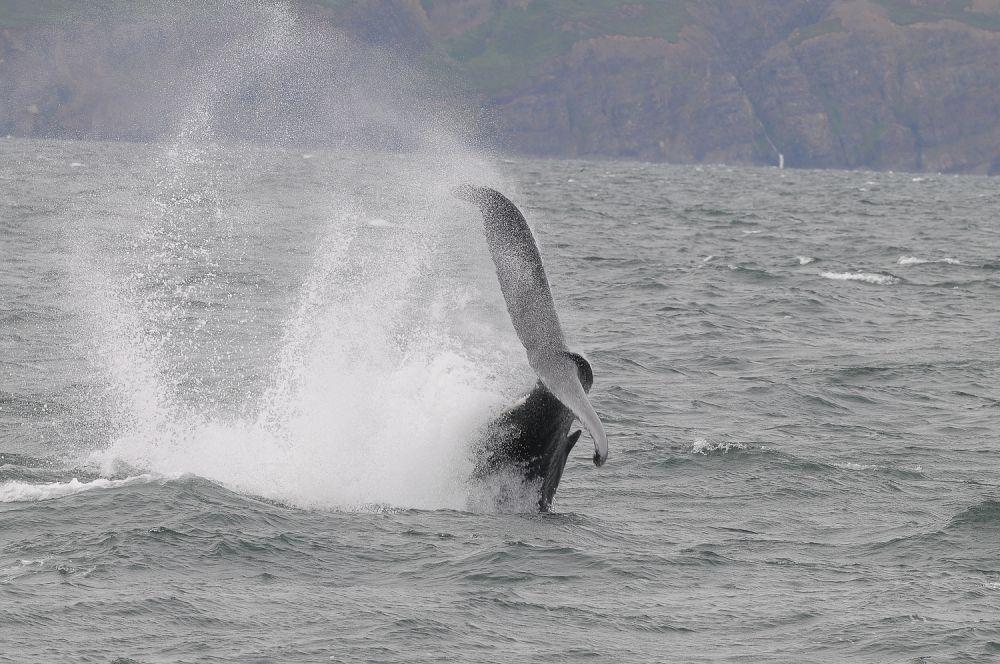 Baleine à bosse © Julien Gonin