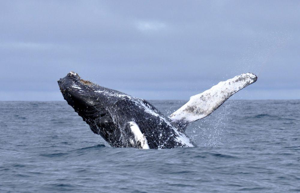 Baleine à bosse © Boris Delahaie