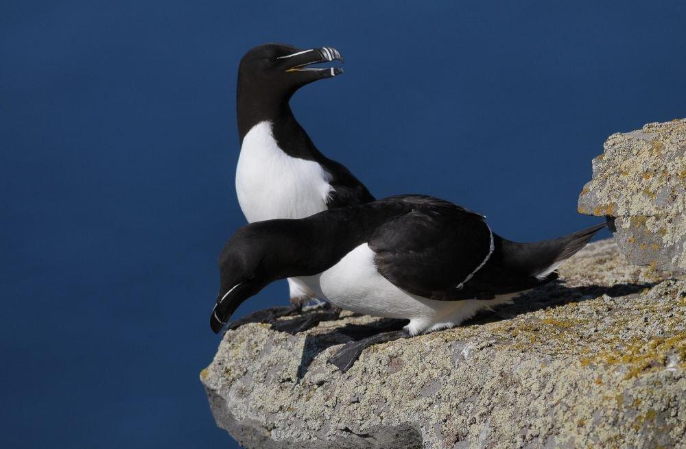 Pingouin © Julien Gonin