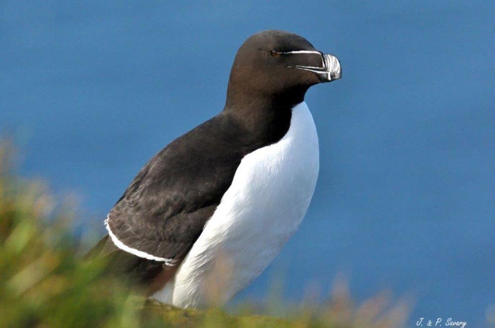 Pingouin Torda ©JetP Savary