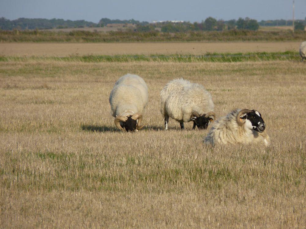 Moutons en pâture