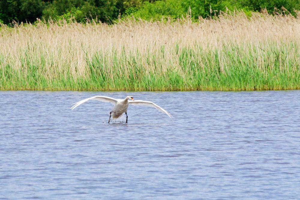 Cygne étang Brenne © Daniel Jolivet