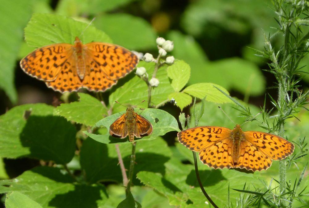 Papillons nacre de la sanguisorbe, Réserve de la Chérine , Brenne © Gailhampshire