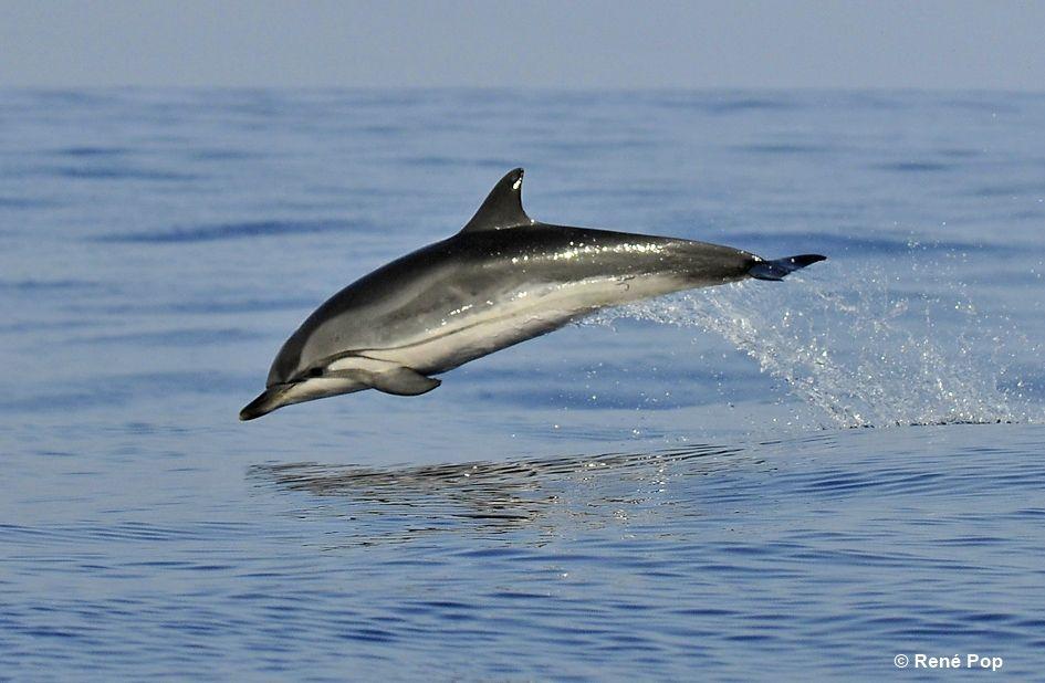 Dauphin baleine © René Pop