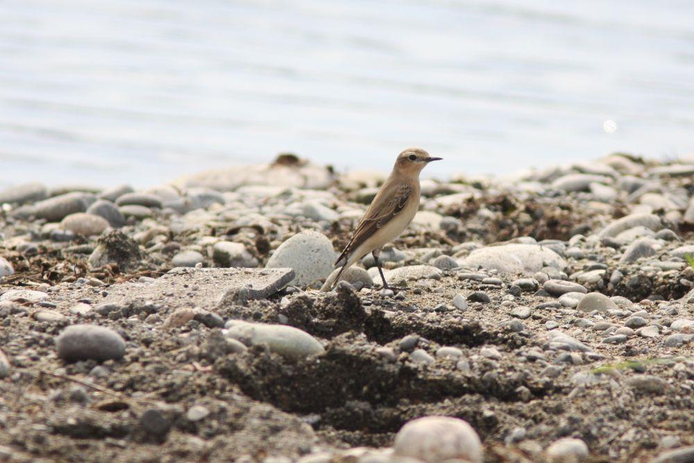 Traquet isabelle ©Birding Caucasus