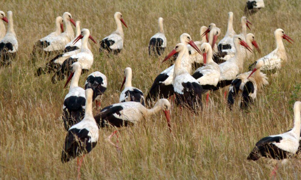 Cigognes blanches ©Bernard Dupont
