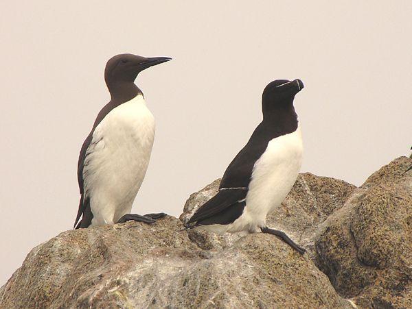 Guillemot et pingouin © Gilles Bentz