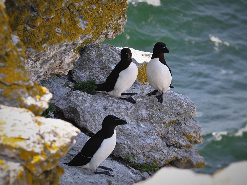 Pingouins torda © Helen Simonsson