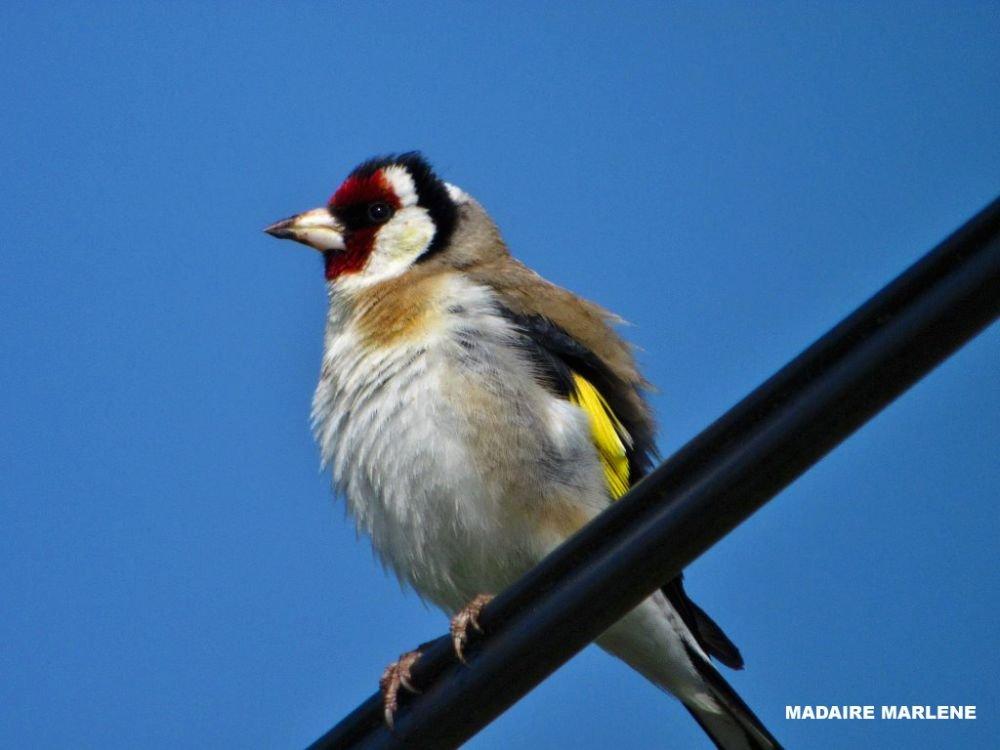 Séjour nature France - LPO Ornithologie - Chardonneret élégant, Forez - Marlène Madaire