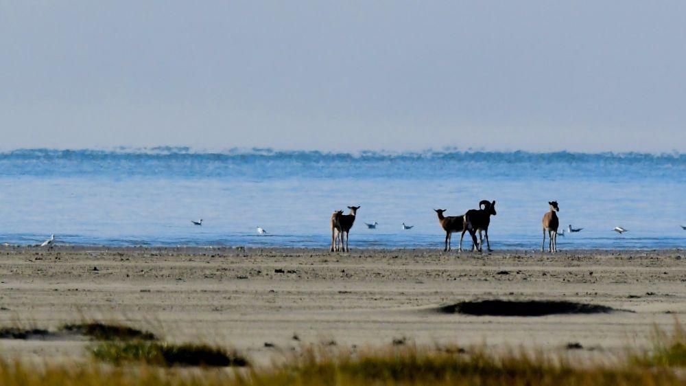 Mouflons © Jean-Baptiste Martineau