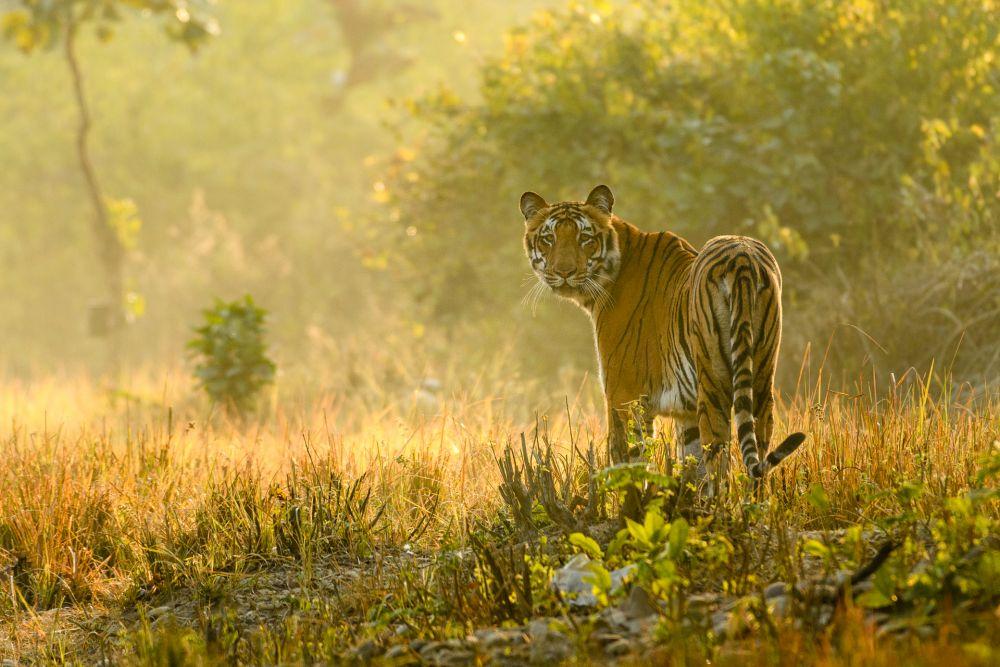 voyage-nature-tigre-inde © Gérard David