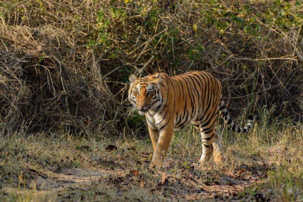 voyage-nature-inde-dhikala-tigre © Gérard David