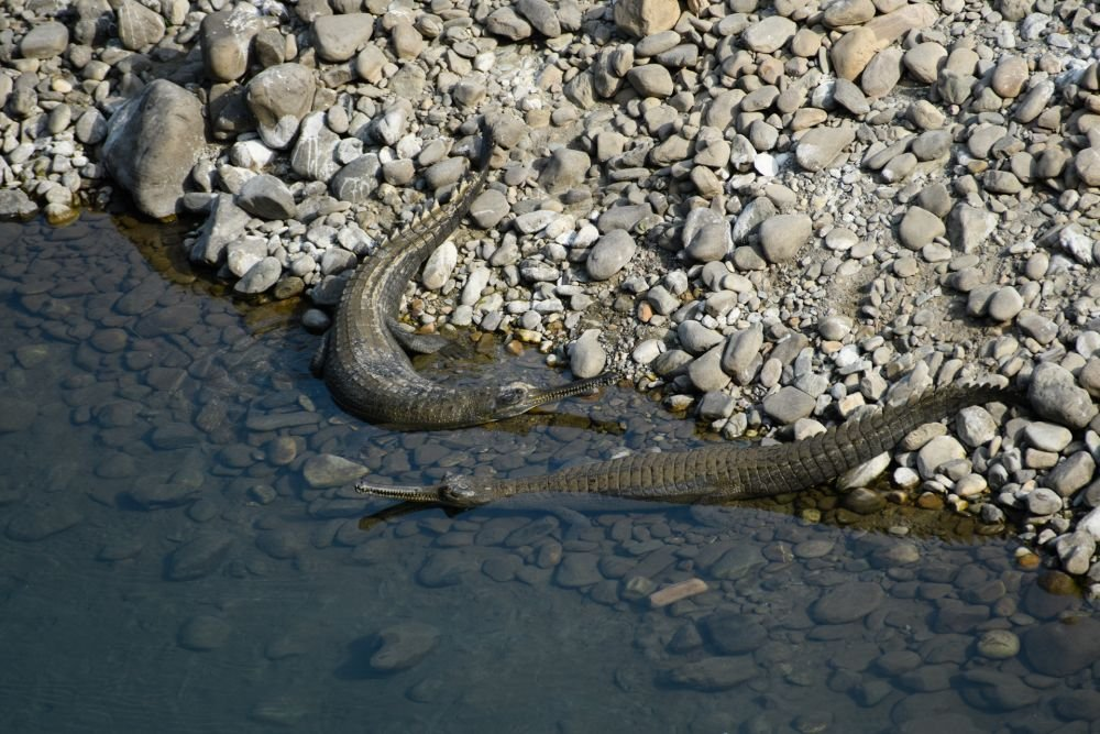 voyage-nature-Inde-Dhikala-gavial © Gérard David