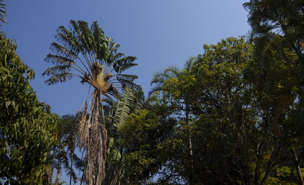 arbre-voyageur madagascar