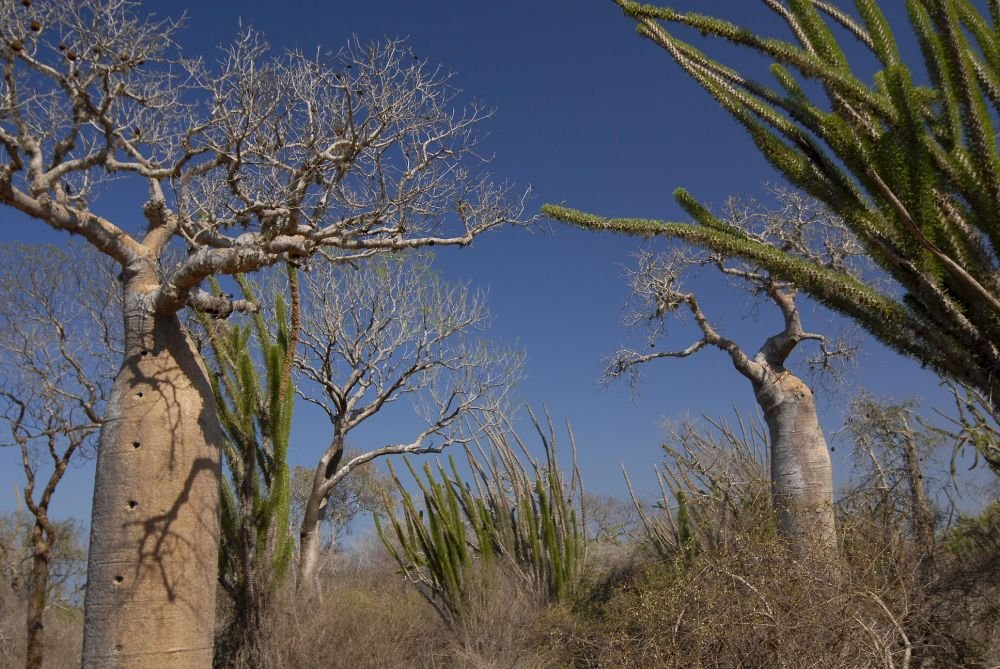desert epineux madagascar