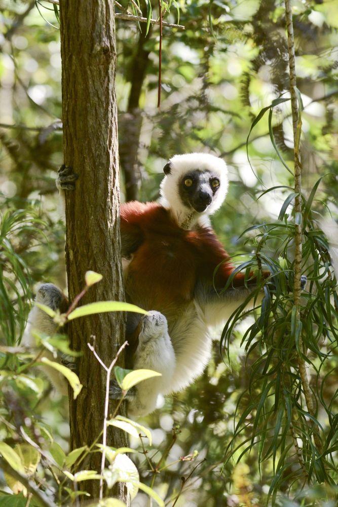 lemurien endemique madagascar