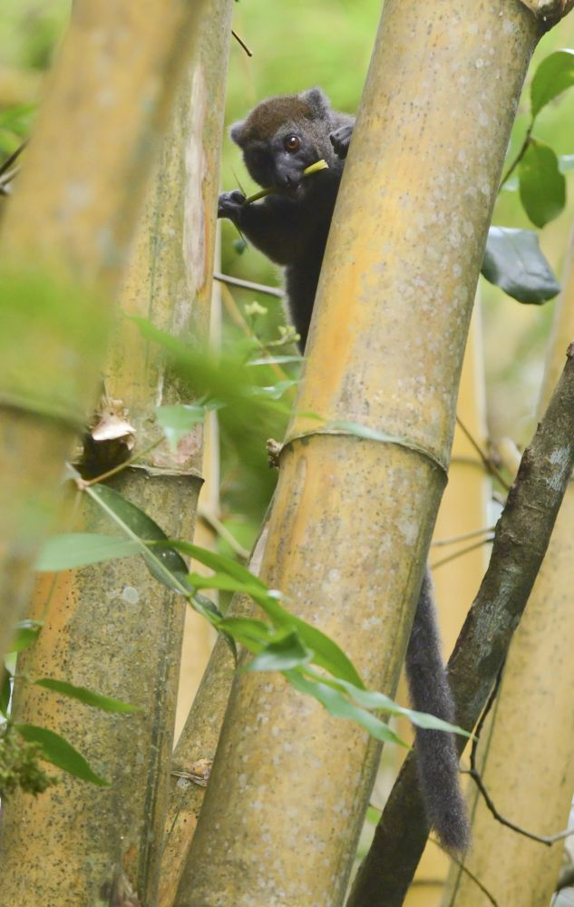 hapalémur lémurien madagascar