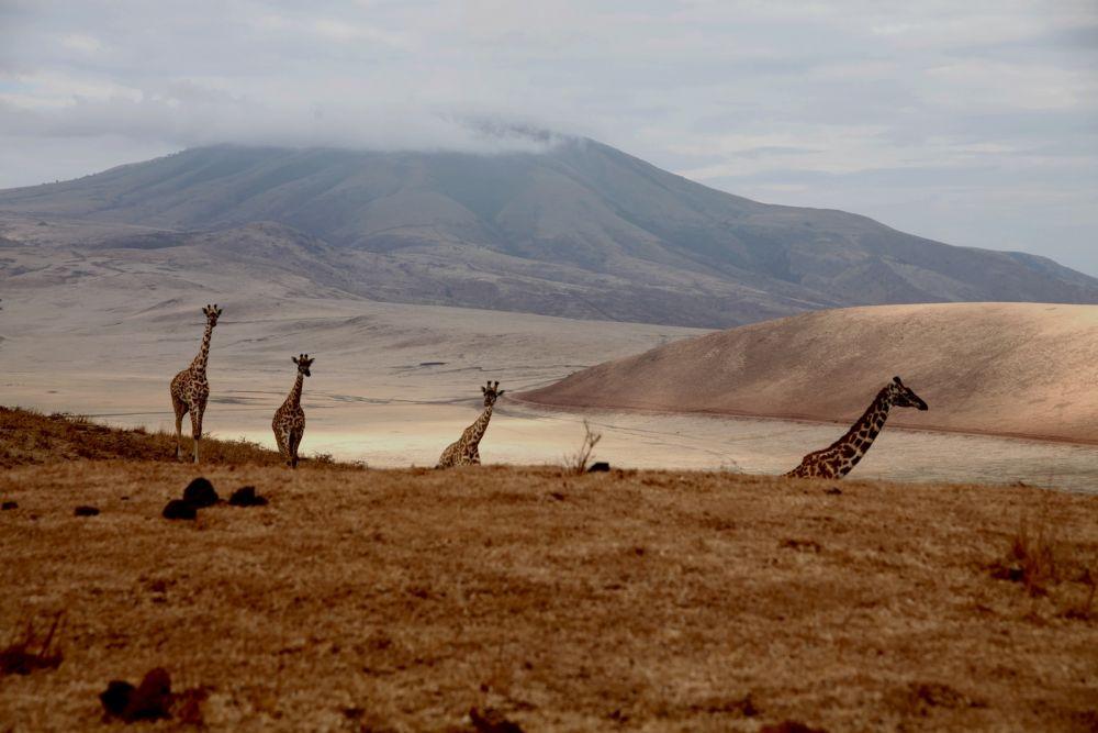 Girafes - Aire de Conservation  N'Gorongoro