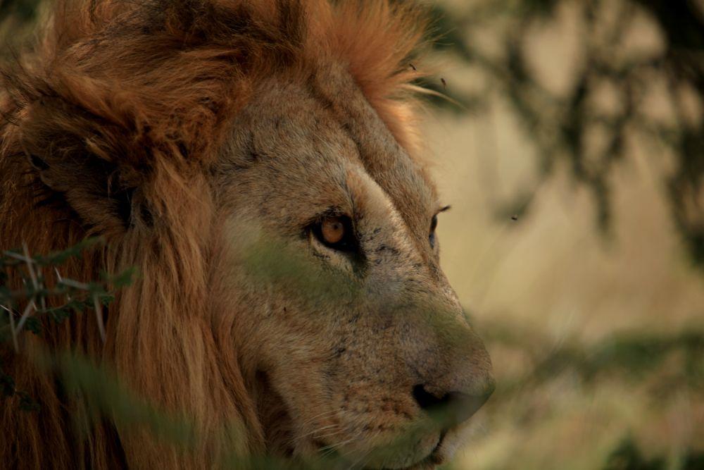 Lion -Serengeti