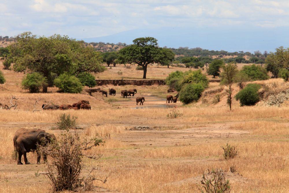 Eléphants dans lit rivière  - Tarnagire