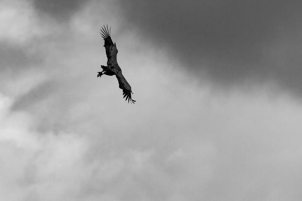 Vol de vautour fauve lors de ce séjour entre Champsaur et Baronnies