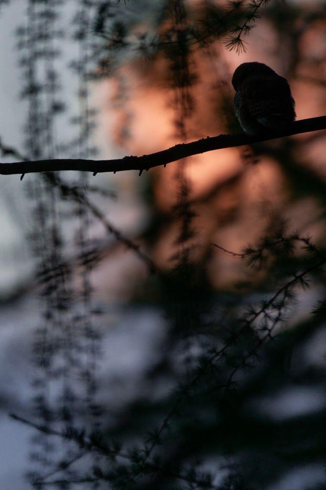Photo de chouette chevêchette réalisée lors de ce séjour d'observation et de photo