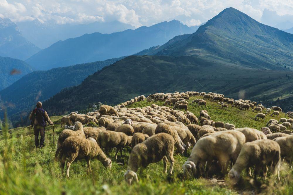 Troupeau de brebis et son berger dans les Alpes du Sud