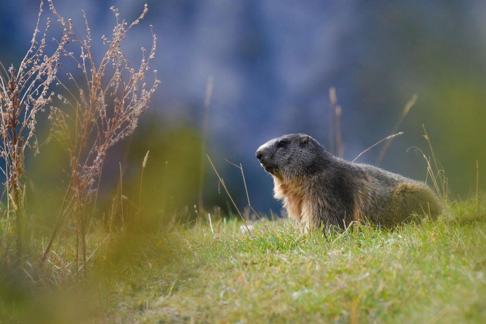 Marmotte dans la vallée du Champsaur