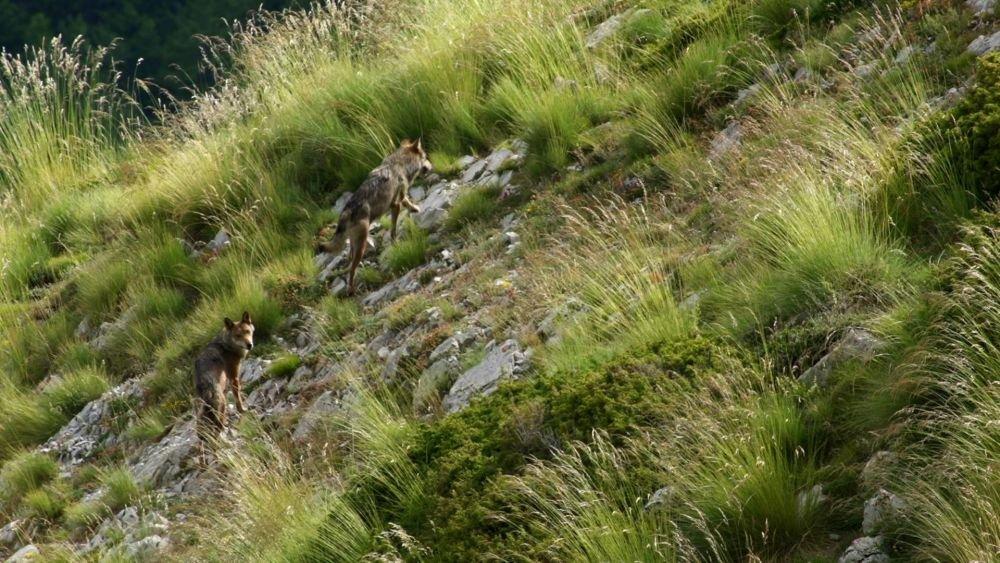 capture d'écran du loup dans le Dévoluy