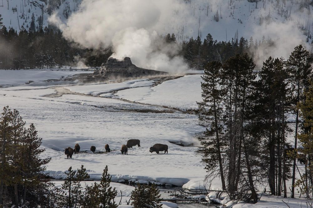 observation bison yellowstone