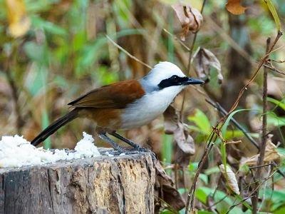 Séjour ornithologique au Cambodge