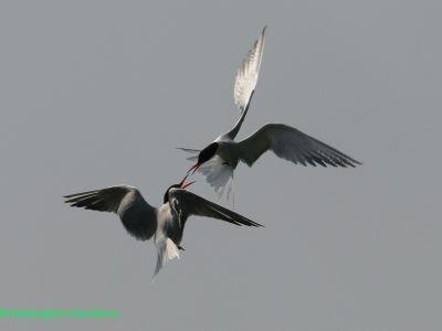 Le delta du Pô et ses oiseaux