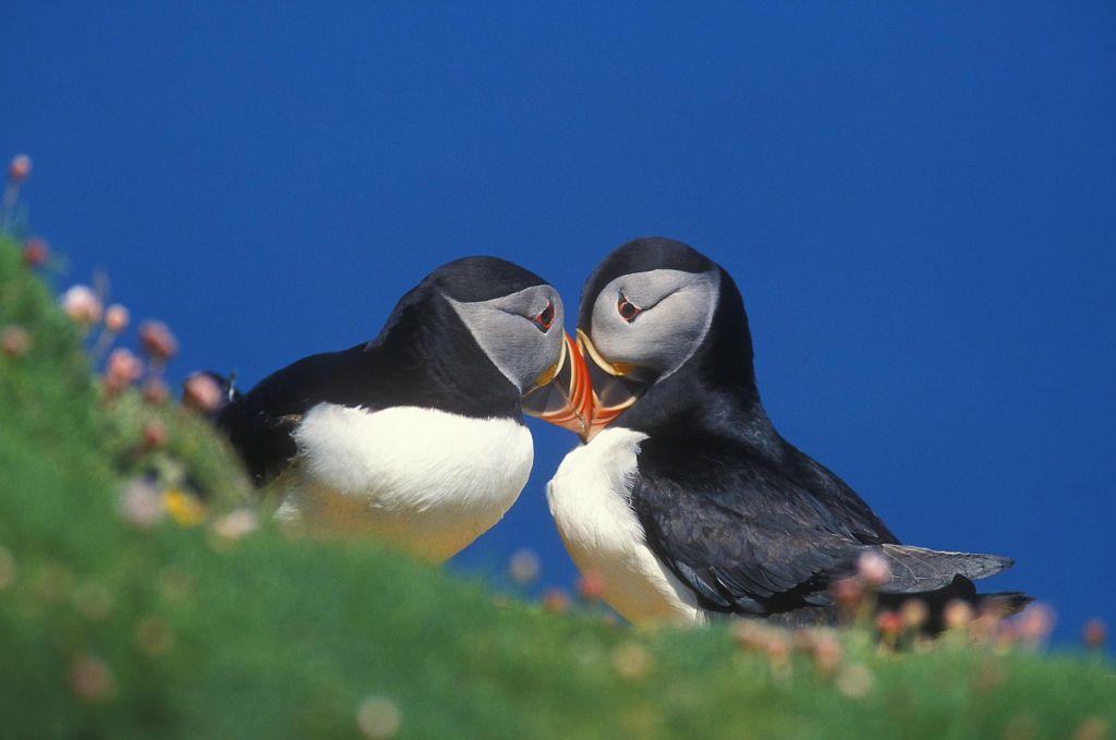 Macareux îles Shetland Ecosse