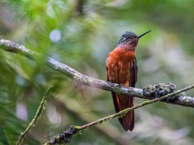 Voyage ornithologique au Pérou