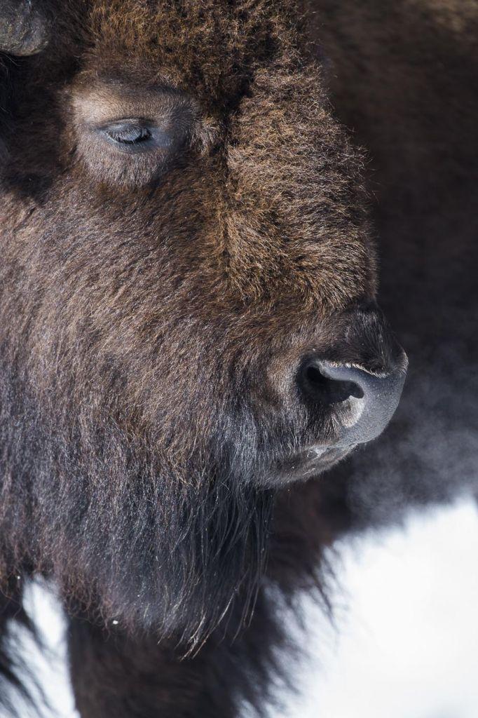 portrait d'un bison États-Unis