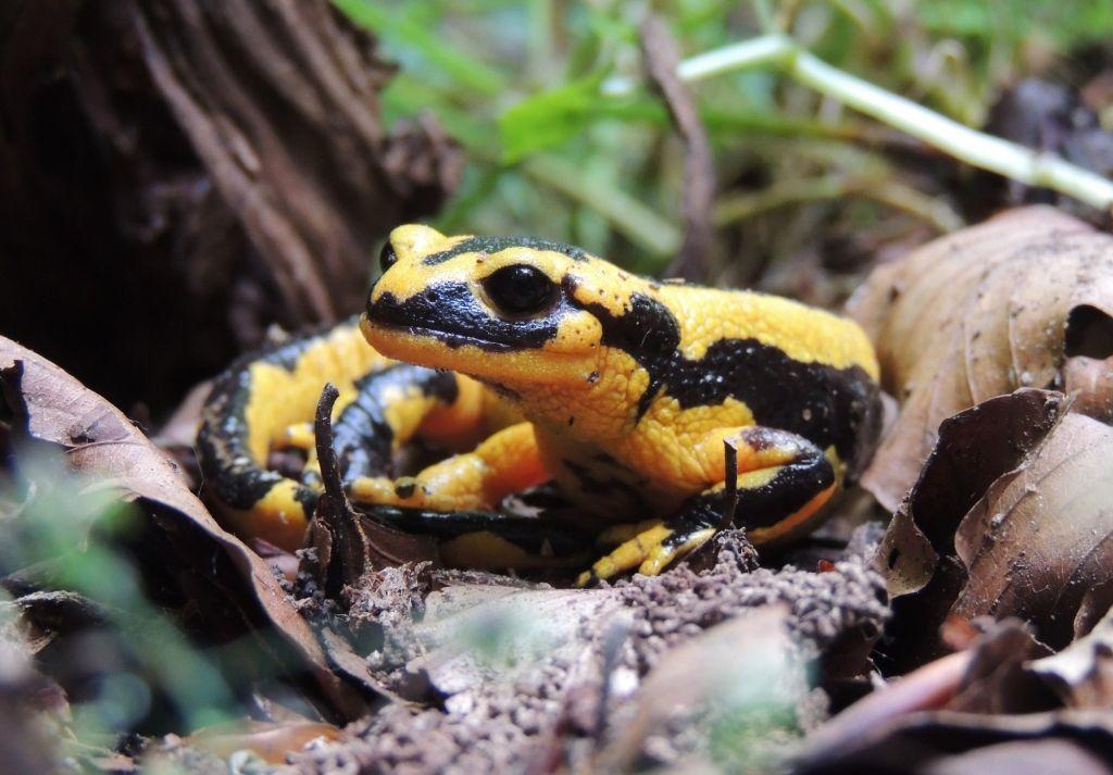 Salamandre fastueuse